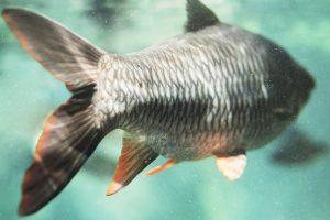 рибен колаген от шаранови риби
